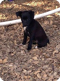 Chihuahua Mix Puppy for adoption in East Hartford, Connecticut - Martha 2 meet me 8/29
