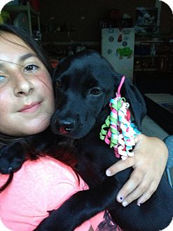 Labrador Retriever Mix Puppy for adoption in Marlton, New Jersey - Black Lab babies