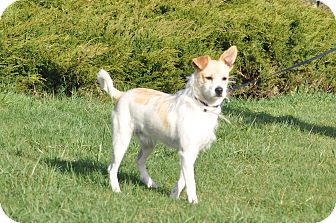Parson Russell Terrier Mix Dog for adoption in Tumwater, Washington - Bailey