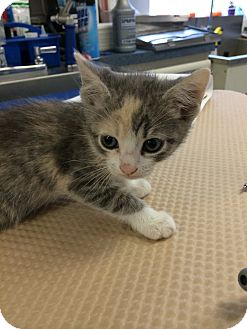 Calico Kitten for adoption in Los Angeles, California - WEDNESDAY