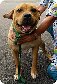 American Staffordshire Terrier/Shar Pei Mix Dog for adoption in Union City, Tennessee - Mandy