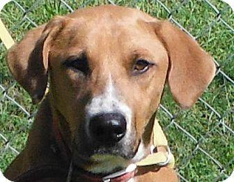 Retriever (Unknown Type)/Boxer Mix Dog for adoption in Cedartown, Georgia - Gunner