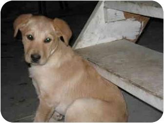 Labrador Retriever/Labrador Retriever Mix Puppy for adoption in all of, Connecticut - Bart
