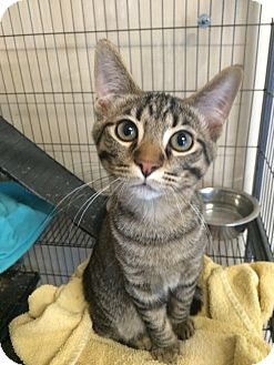 Domestic Shorthair Cat for adoption in Loogootee, Indiana - Duncan