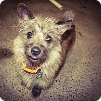 Adopt A Pet :: Scottie - Eugene, OR