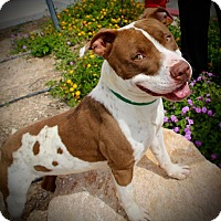 Adopt A Pet :: Payton - Las Vegas, NV