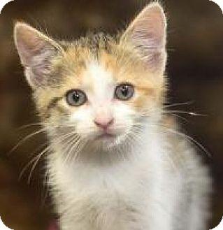 Domestic Shorthair Kitten for adoption in Reston, Virginia - Ginger