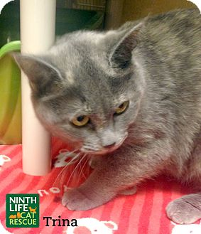 Domestic Shorthair Cat for adoption in Oakville, Ontario - Trina
