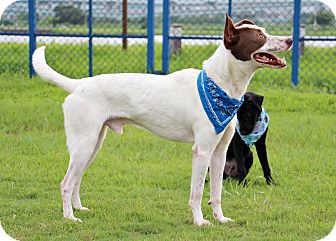 English Pointer Mix Dog for adoption in San Francisco, California - Browny