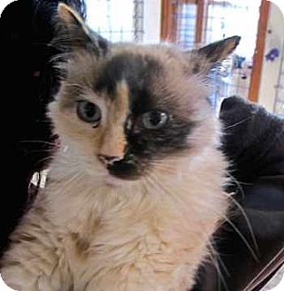 Birman Cat for adoption in Davis, California - Veronica
