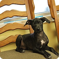 Adopt A Pet :: Pippin - Brattleboro, VT