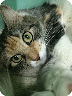 Domestic Mediumhair Cat for adoption in Rockaway, New Jersey - Daisy