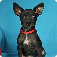 Adopt A Pet :: Sisu - Minneapolis, MN
