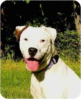 American Staffordshire Terrier/American Bulldog Mix Dog for adoption in Mocksville, North Carolina - Shakira