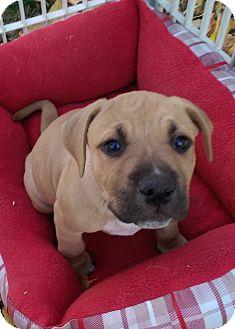 American Staffordshire Terrier/Labrador Retriever Mix Puppy for adoption in Ogden, Utah - Granbull