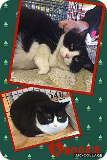 Domestic Shorthair Cat for adoption in Scottsdale, Arizona - Snookie