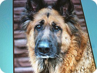 German Shepherd Dog Dog for adoption in Los Angeles, California - SHEYLA VON SPRAKLE