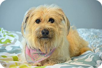 Cairn Terrier Mix Dog for adoption in Southington, Connecticut - Sunni