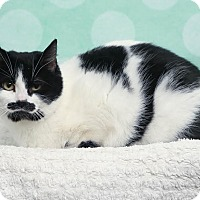 Adopt A Pet :: Meowstache - Chippewa Falls, WI