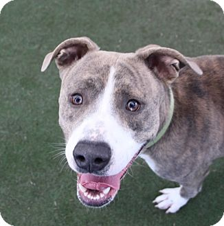 Pit Bull Terrier Mix Dog for adoption in Las Vegas, Nevada - *HAMISH