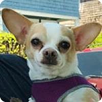Adopt A Pet :: Amigo - Medford, MA