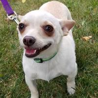 Adopt A Pet :: Brie - West Allis, WI