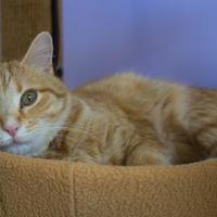 Adopt A Pet :: Purrnino - Chicago, IL