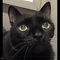 Domestic Shorthair Cat for adoption in Thornhill, Ontario - Charlie