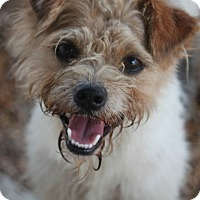 Yorkie, Yorkshire Terrier/Wirehaired Fox Terrier Mix Dog for adoption in Mahwah, New Jersey - Sput Monroe