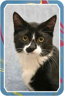Domestic Shorthair Cat for adoption in Sterling Heights, Michigan - Kudo - ADOPTED!