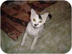 Domestic Shorthair Cat for adoption in Strathmore, Alberta - Smartie