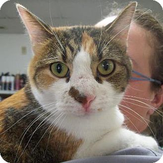 Domestic Shorthair Cat for adoption in Walnut, Iowa - Autumn