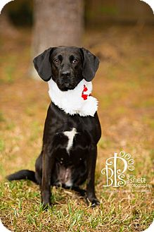Beagle/Labrador Retriever Mix Dog for adoption in Tallahassee, Florida - Maggie
