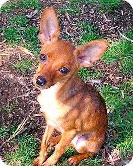 Chihuahua Mix Dog for adoption in El Cajon, California - Jackie