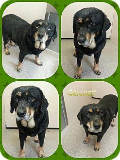 Rottweiler Mix Dog for adoption in Louisburg, North Carolina - Cricket