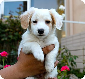 Spaniel (Unknown Type) Mix Puppy for adoption in Los Angeles, California - Dolly Holiday