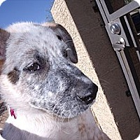 Adopt A Pet :: Painter - Adoption Pending - Phoenix, AZ
