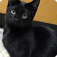Adopt A Pet :: Ebony - Bedford, MA