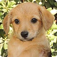 Adopt A Pet :: Leonard - La Habra Heights, CA
