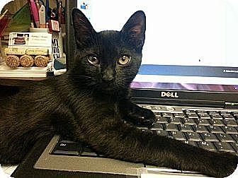 Domestic Shorthair Kitten for adoption in San Dimas, California - Lucy