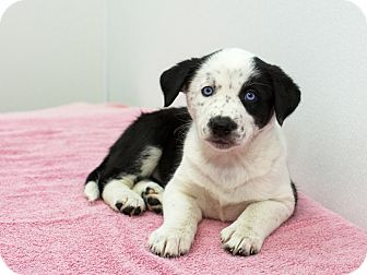 Husky/Border Collie Mix Puppy for adoption in Ile-Perrot, Quebec - Dakota