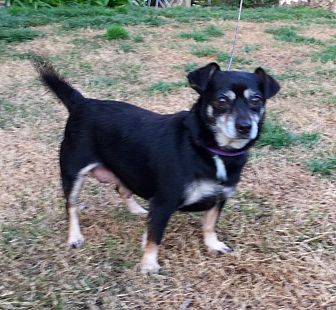 Chihuahua Mix Dog for adoption in Sacramento, California - Darla