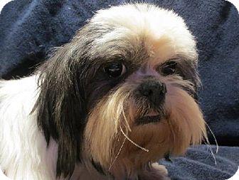 Shih Tzu Dog for adoption in London, Ontario - Princess     (Faun)