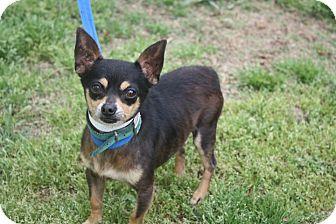 Chihuahua Dog for adoption in Conway, Arkansas - Pico