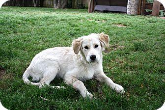 Golden Retriever Mix Puppy for adoption in Salem, New Hampshire - PUPPY COTTON