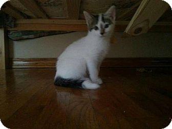 Domestic Shorthair Kitten for adoption in Hamilton, Ontario - Marilyn