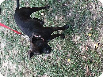 Boston Terrier Mix Dog for adoption in Cranford, New Jersey - Cassie
