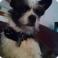 Adopt A Pet :: Scruffy - Richmond, VA