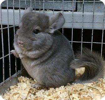 Chinchilla for adoption in Hammond, Indiana - 4 mo violet male chinchilla