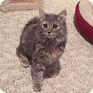 Domestic Mediumhair Kitten for adoption in Arlington/Ft Worth, Texas - Maddie